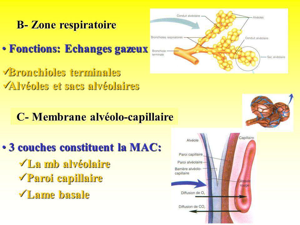 B- Zone respiratoire B- Zone respiratoire Fonctions: Echanges gazeux Fonctions: Echanges gazeux Bronchioles terminales Bronchioles terminales Alvéoles