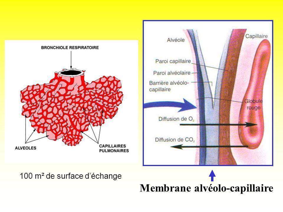 Membrane alvéolo-capillaire 100 m² de surface déchange