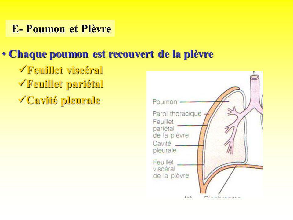 Chaque poumon est recouvert de la plèvre Chaque poumon est recouvert de la plèvre E- Poumon et Plèvre E- Poumon et Plèvre Feuillet viscéral Feuillet v