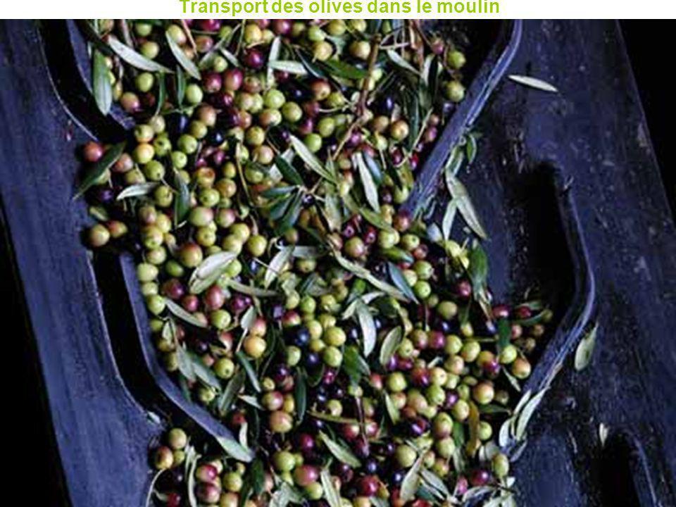 Transport des olives dans le moulin