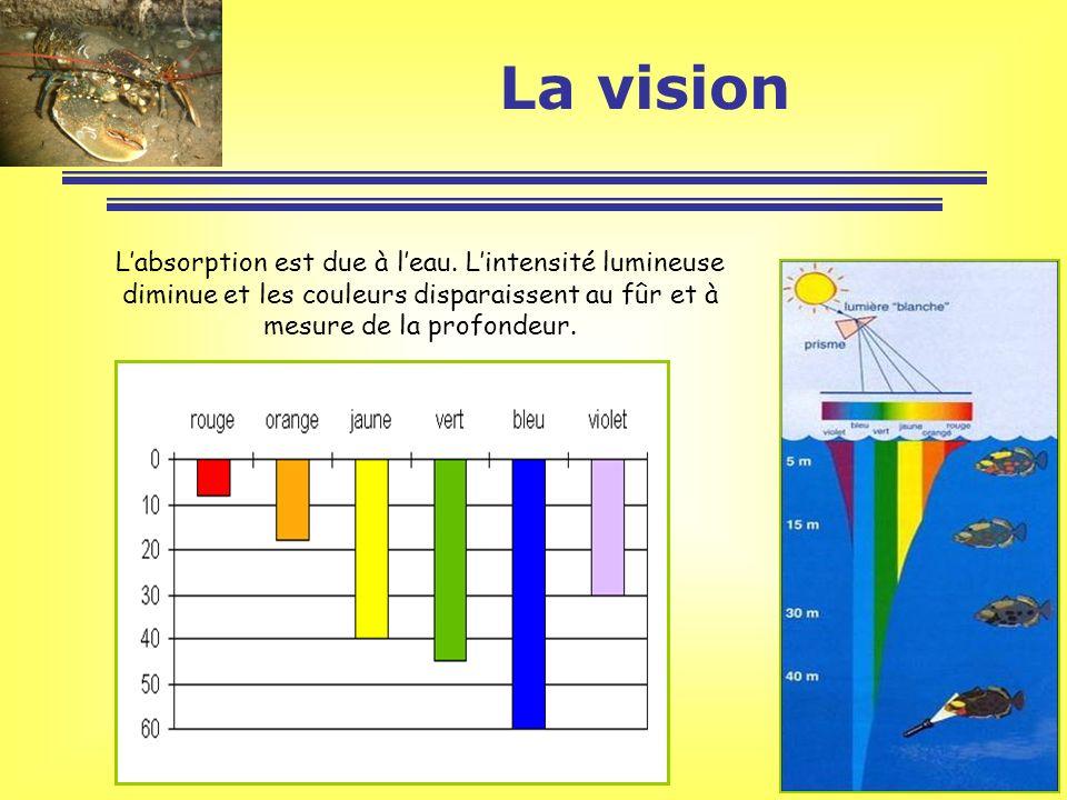 Labsorption est due à leau. Lintensité lumineuse diminue et les couleurs disparaissent au fûr et à mesure de la profondeur. La vision