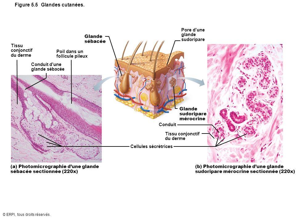 © ERPI, tous droits réservés. Figure 5.5 Glandes cutanées. Conduit Glande sudoripare mérocrine Tissu conjonctif du derme Cellules sécrétrices Pore dun
