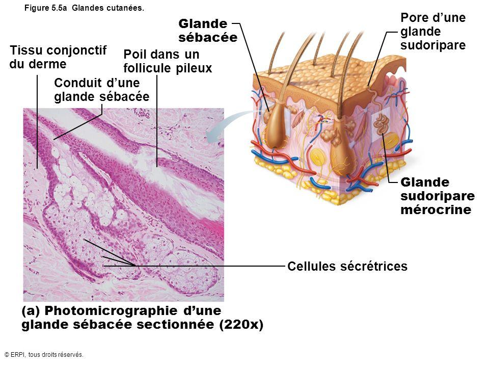 © ERPI, tous droits réservés. Figure 5.5a Glandes cutanées. Tissu conjonctif du derme Poil dans un follicule pileux Conduit dune glande sébacée Glande