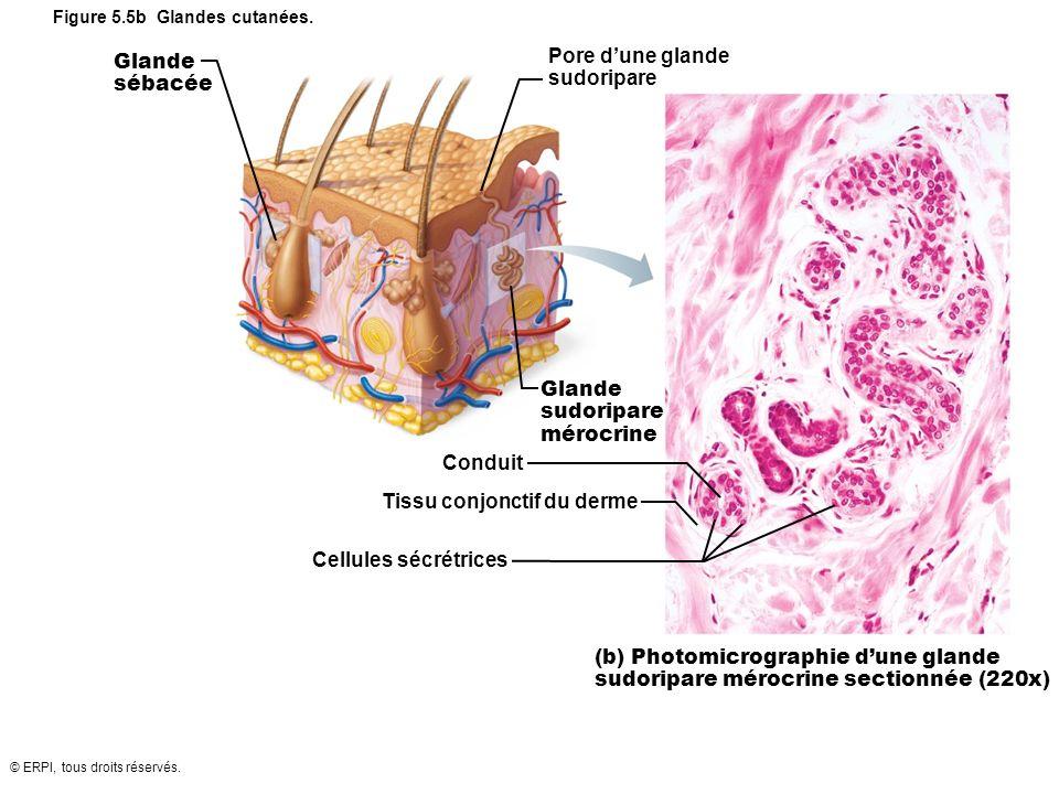© ERPI, tous droits réservés. Figure 5.5b Glandes cutanées. Glande sébacée Glande sudoripare mérocrine Pore dune glande sudoripare Conduit Tissu conjo