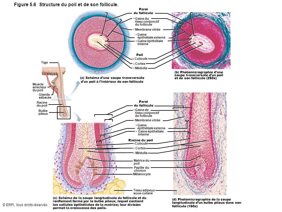 © ERPI, tous droits réservés. Figure 5.6 Structure du poil et de son follicule. Paroi du follicule Gaine du tissu conjonctif du follicule Membrane vit