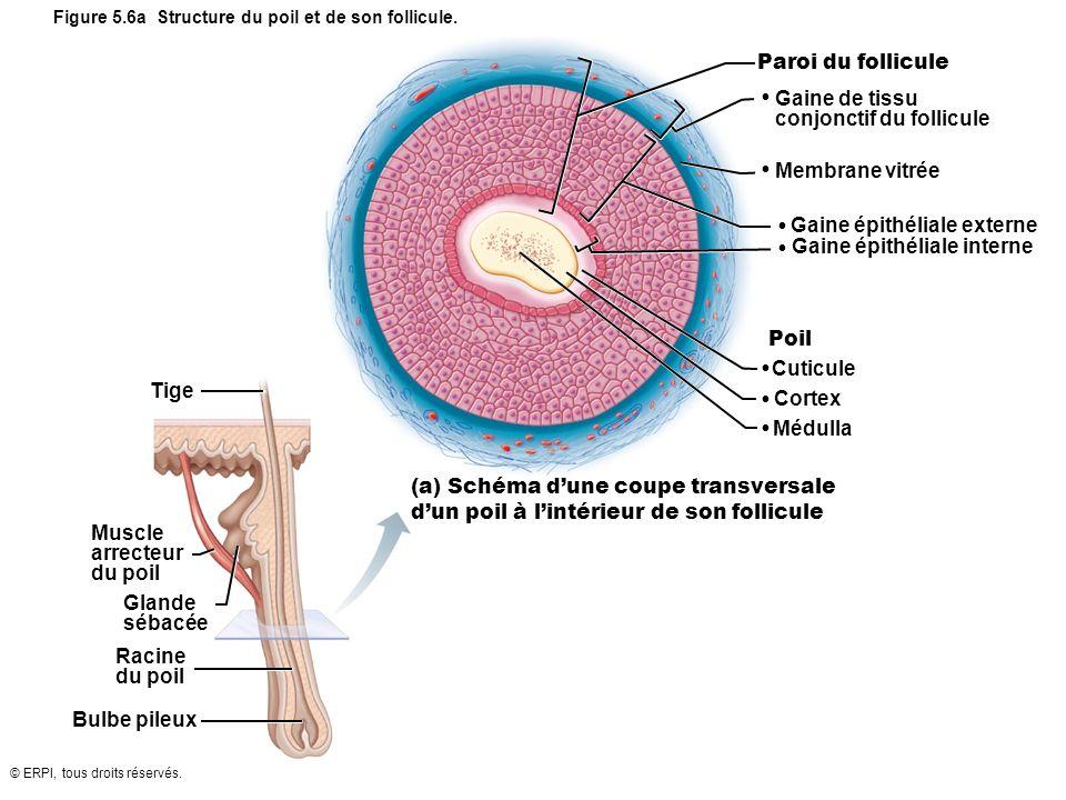© ERPI, tous droits réservés. Paroi du follicule Gaine de tissu conjonctif du follicule Membrane vitrée Gaine épithéliale externe Gaine épithéliale in