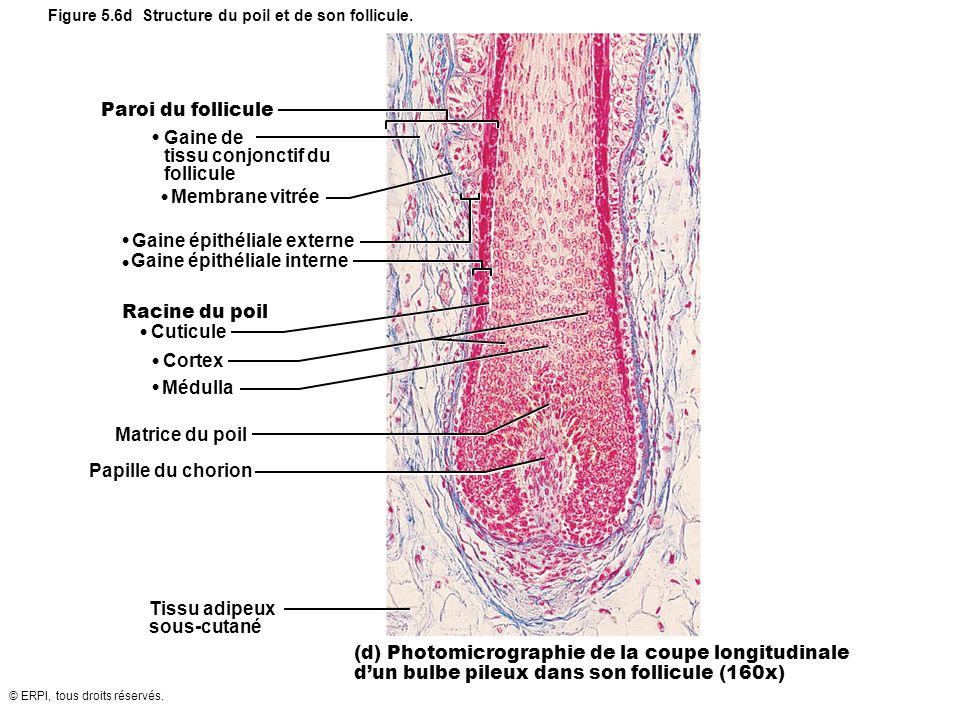 © ERPI, tous droits réservés. Paroi du follicule Gaine de tissu conjonctif du follicule Membrane vitrée Racine du poil Cuticule Cortex Médulla Matrice