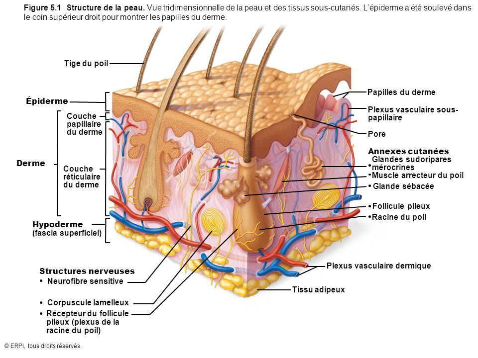 © ERPI, tous droits réservés. Figure 5.1 Structure de la peau. Vue tridimensionnelle de la peau et des tissus sous-cutanés. Lépiderme a été soulevé da