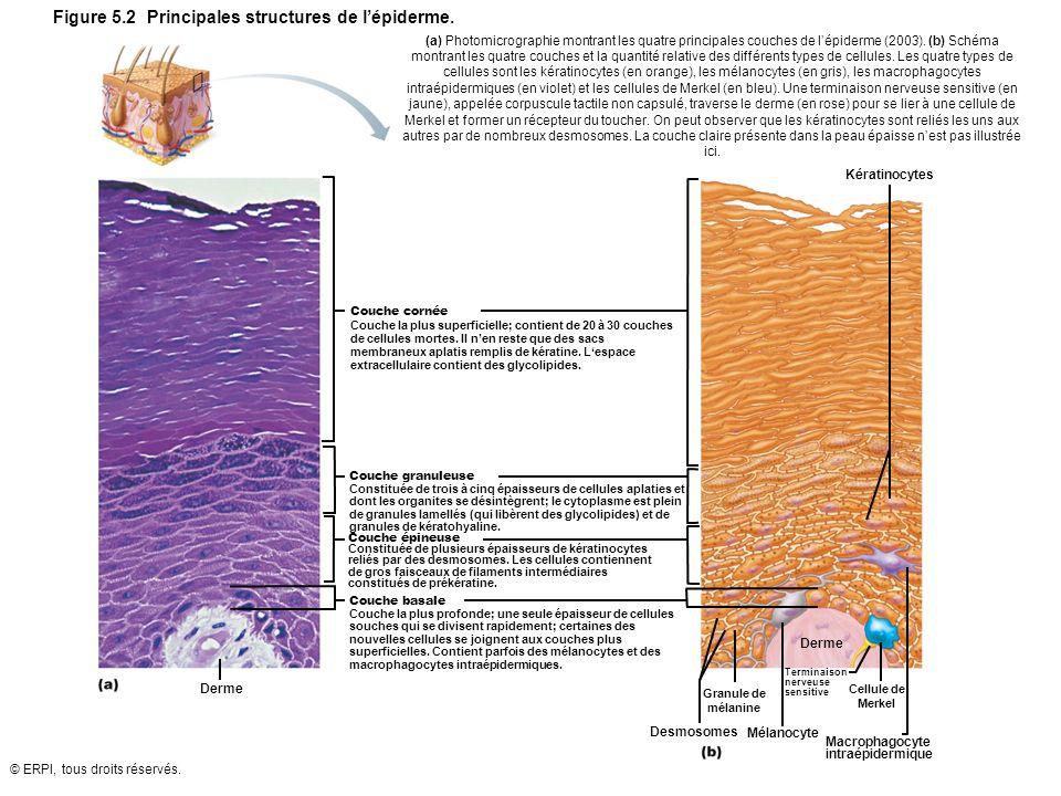 © ERPI, tous droits réservés. Figure 5.2 Principales structures de lépiderme. Mélanocyte Kératinocytes Derme Desmosomes (a) Photomicrographie montrant