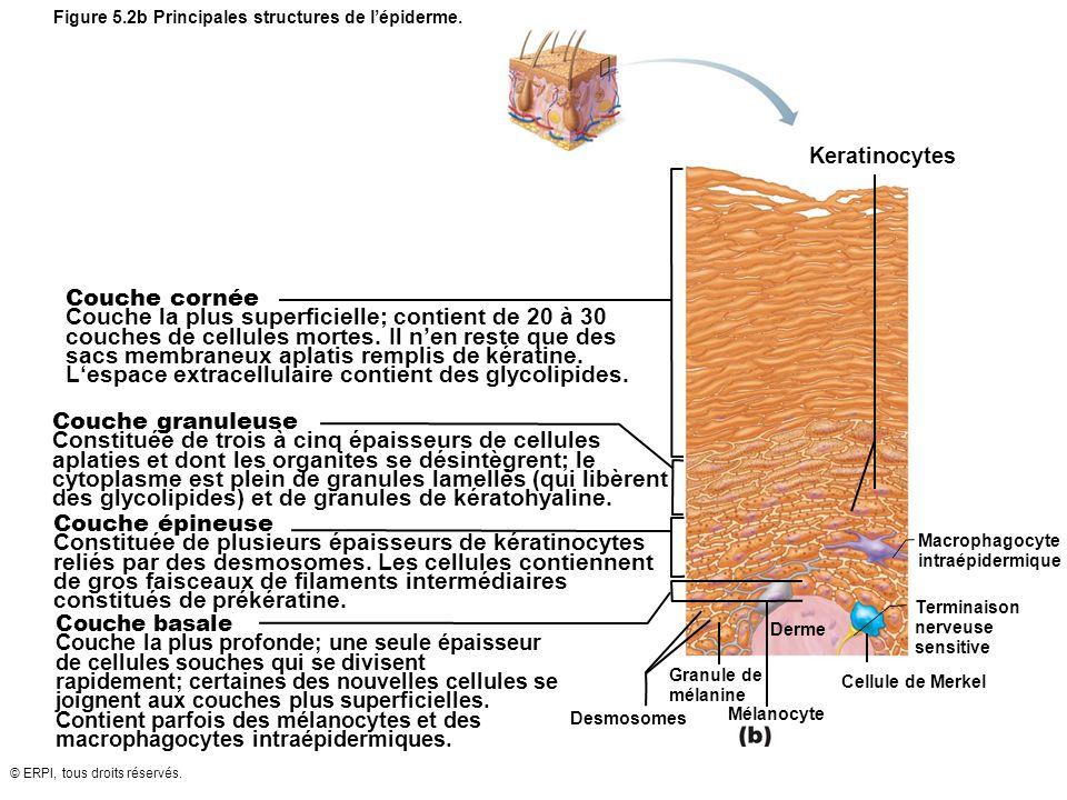 © ERPI, tous droits réservés. Figure 5.2b Principales structures de lépiderme. Mélanocyte Keratinocytes Derme Cellule de Merkel Desmosomes Couche corn