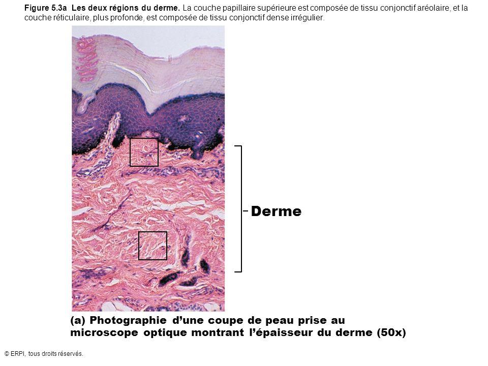 © ERPI, tous droits réservés. Figure 5.3a Les deux régions du derme. La couche papillaire supérieure est composée de tissu conjonctif aréolaire, et la