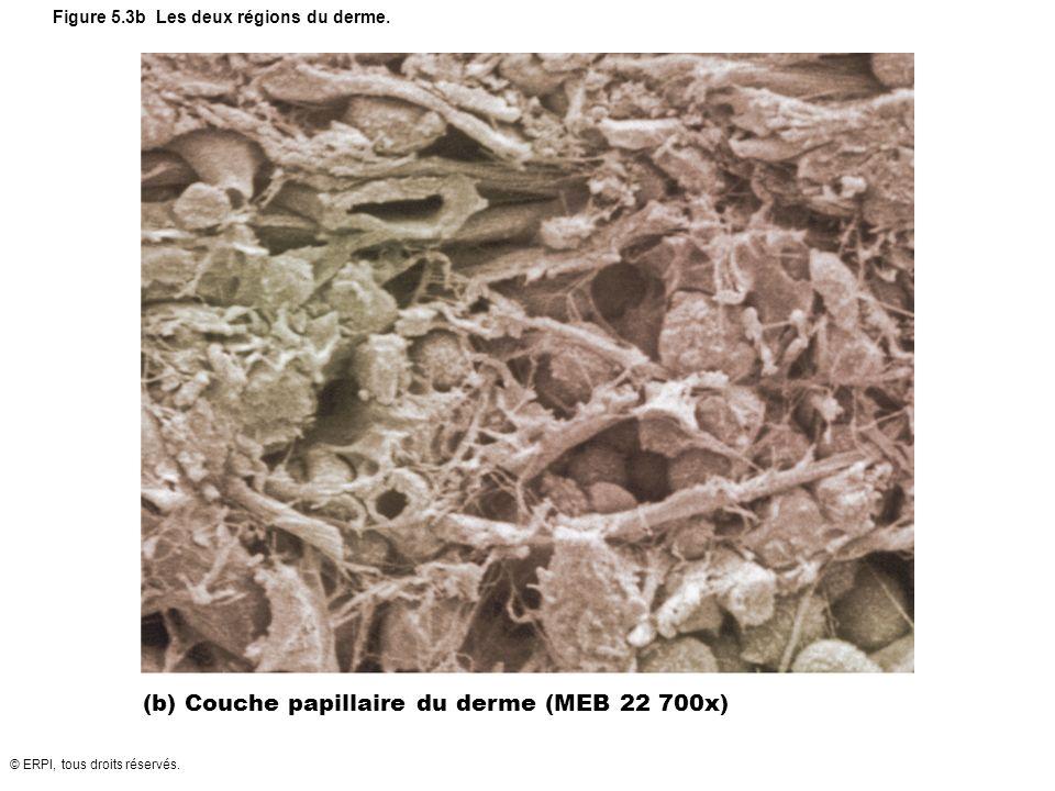 © ERPI, tous droits réservés. Figure 5.3b Les deux régions du derme. (b) Couche papillaire du derme (MEB 22 700x)