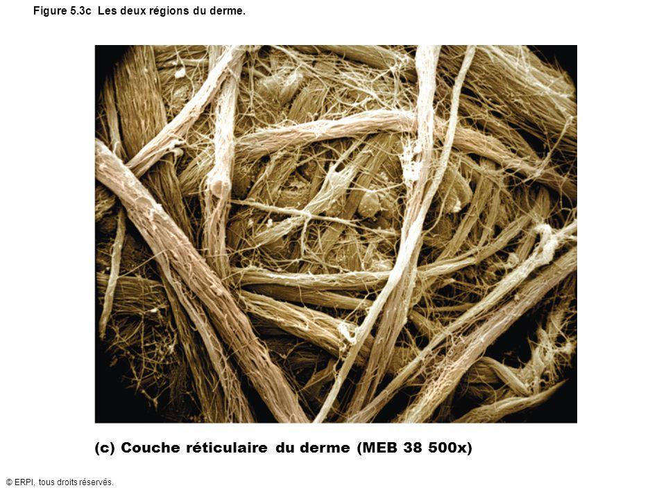 © ERPI, tous droits réservés. Figure 5.3c Les deux régions du derme. (c) Couche réticulaire du derme (MEB 38 500x)