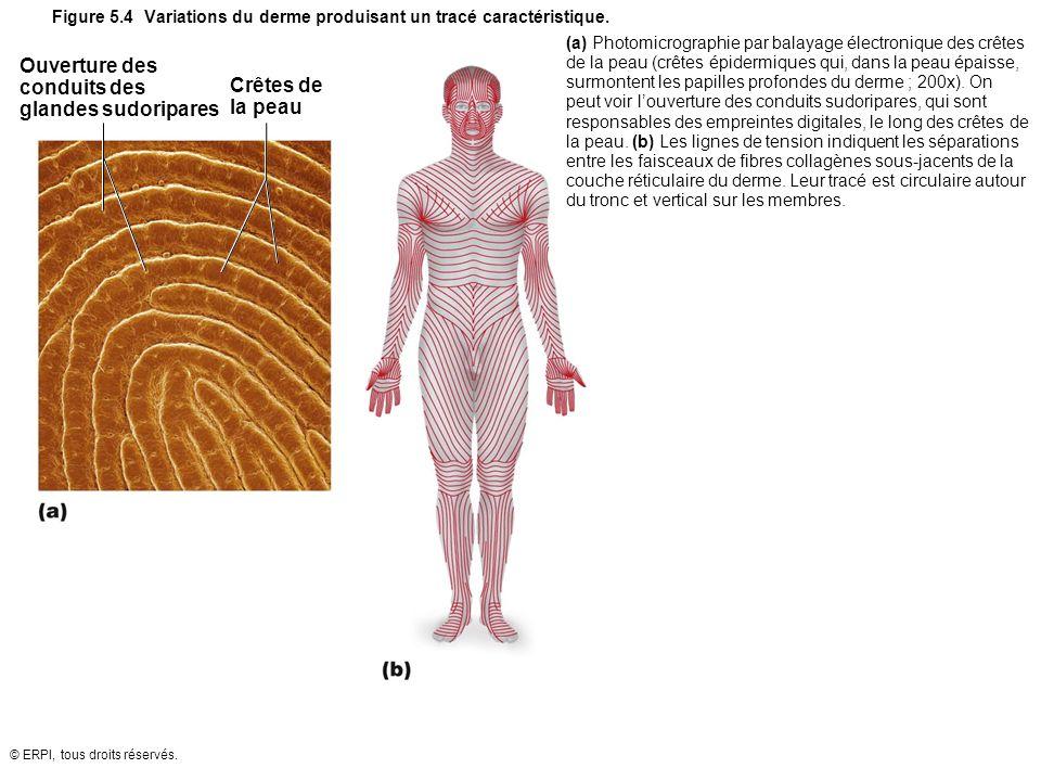 © ERPI, tous droits réservés. Figure 5.4 Variations du derme produisant un tracé caractéristique. Ouverture des conduits des glandes sudoripares Crête