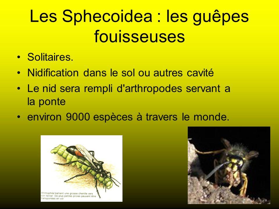 Les Sphecoidea : les guêpes fouisseuses Solitaires. Nidification dans le sol ou autres cavité Le nid sera rempli d'arthropodes servant a la ponte envi