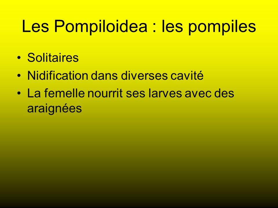 Les Pompiloidea : les pompiles Solitaires Nidification dans diverses cavité La femelle nourrit ses larves avec des araignées