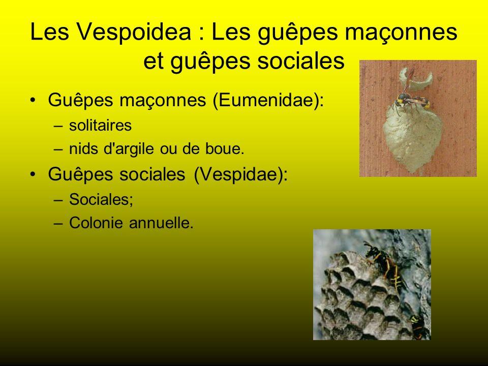 Les Vespoidea : Les guêpes maçonnes et guêpes sociales Guêpes maçonnes (Eumenidae): –solitaires –nids d'argile ou de boue. Guêpes sociales (Vespidae):