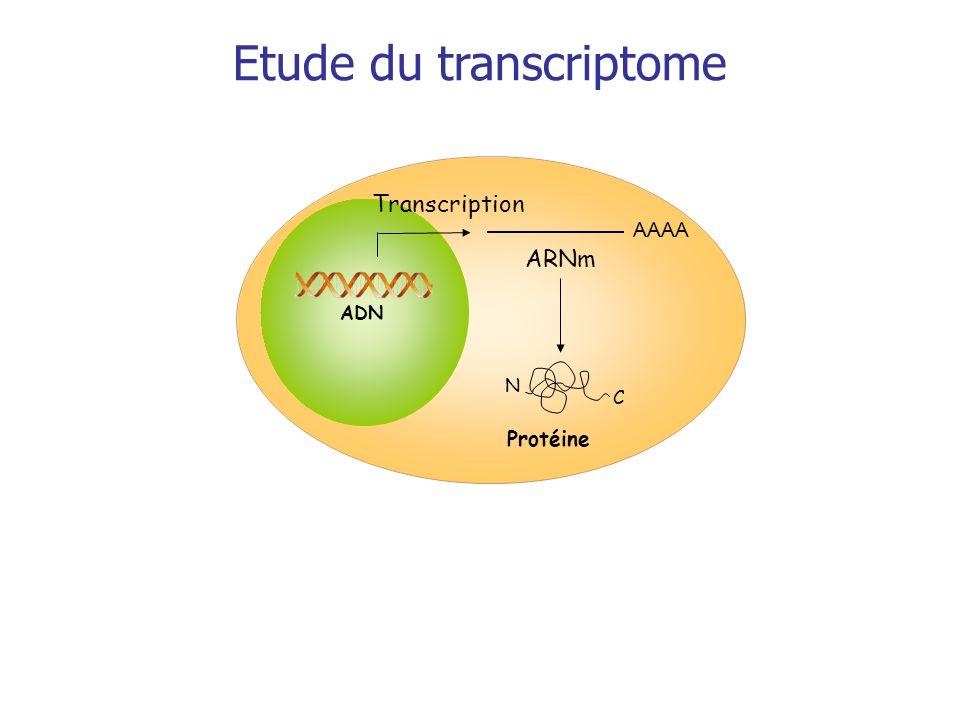 Transcription Protéine AAAA ARNm C N ADN Etude du transcriptome