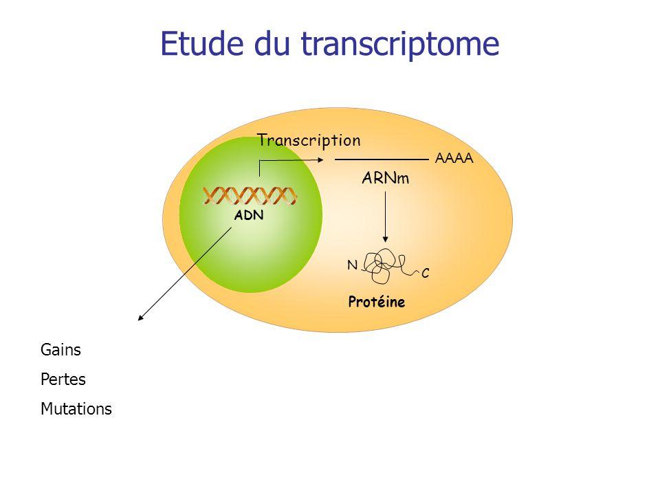 Transcription Protéine AAAA ARNm C N ADN Etude du transcriptome Gains Pertes Mutations Niveau dexpression: Gènes pas exprimés Gènes très fortement exprimés