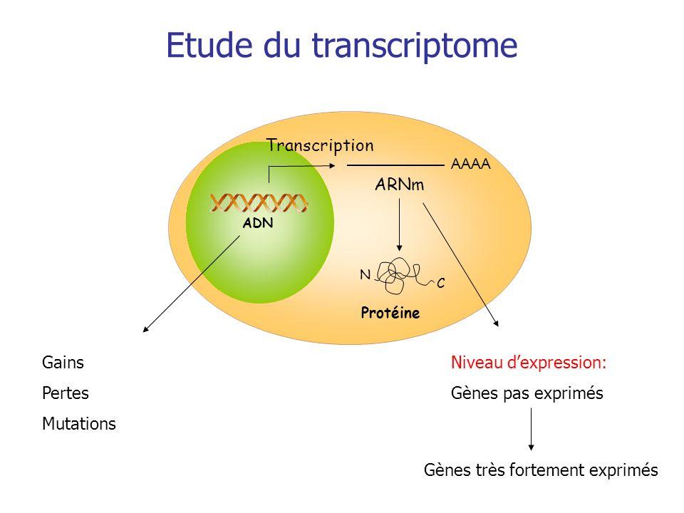 Transcription Protéine AAAA ARNm C N ADN Etude du transcriptome Gains Pertes Mutations Niveau dexpression: Gènes pas exprimés Gènes très fortement exp
