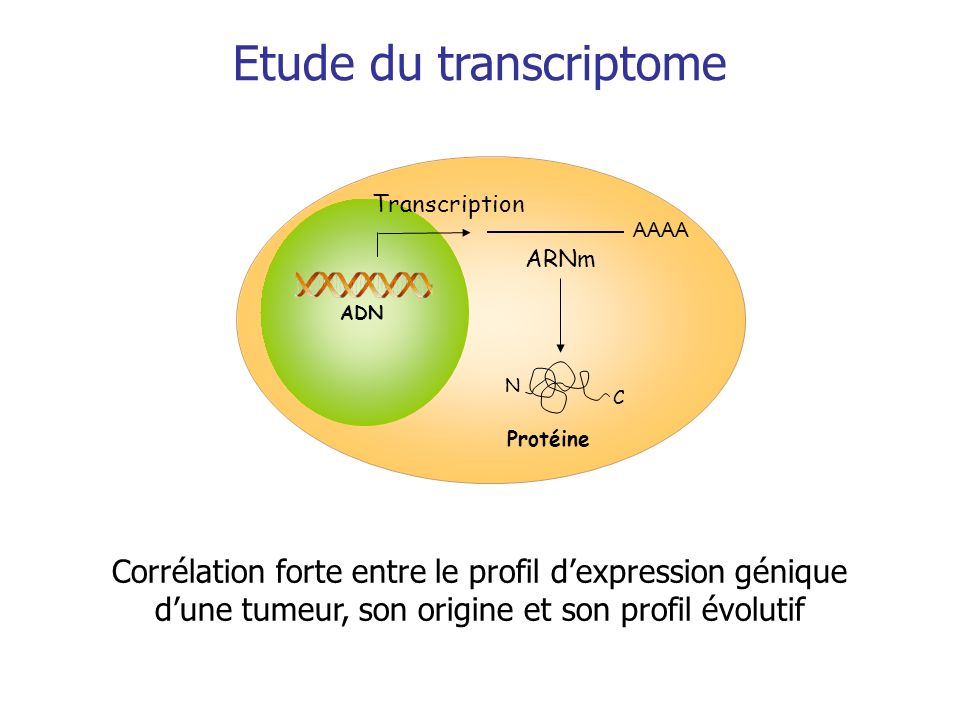 Transcription Protéine AAAA ARNm C N ADN Etude du transcriptome Corrélation forte entre le profil dexpression génique dune tumeur, son origine et son