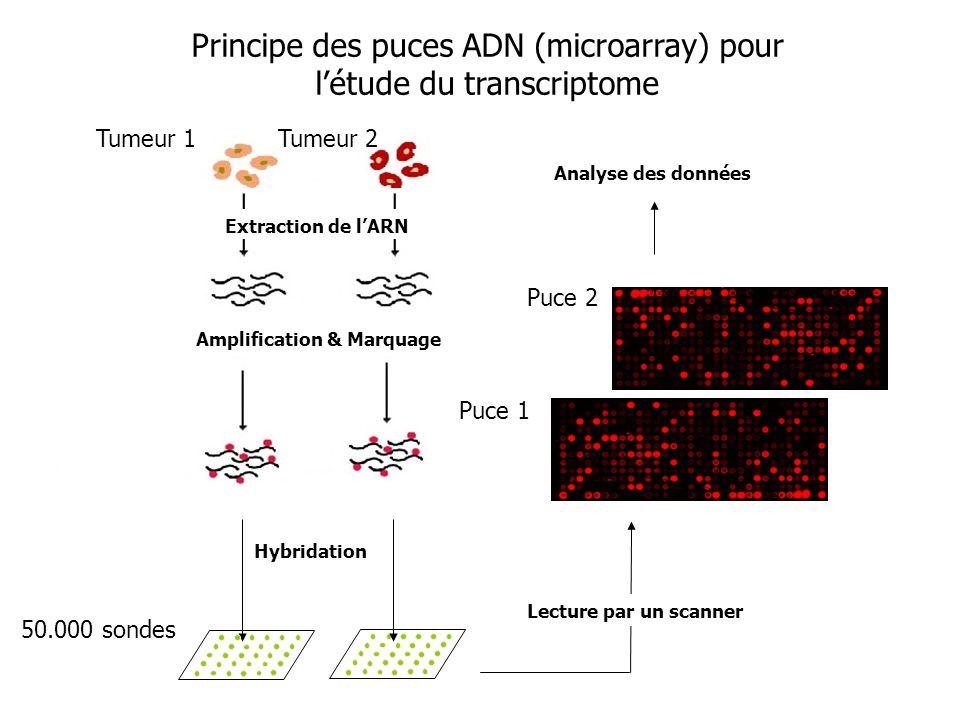 Hybridation Lecture par un scanner Analyse des données Amplification & Marquage Principe des puces ADN (microarray) pour létude du transcriptome 50.00