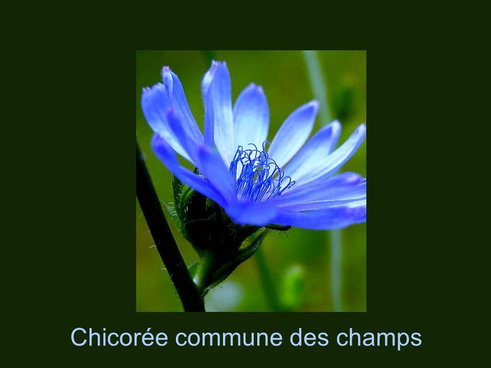 Centaurée (Bleuet – Bouton de Vieux Garçon) Centaurea officinalis
