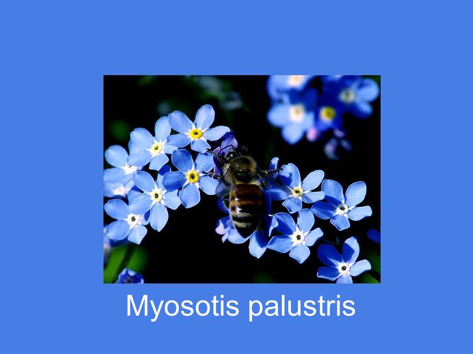 Platycodon – Fleur ballon