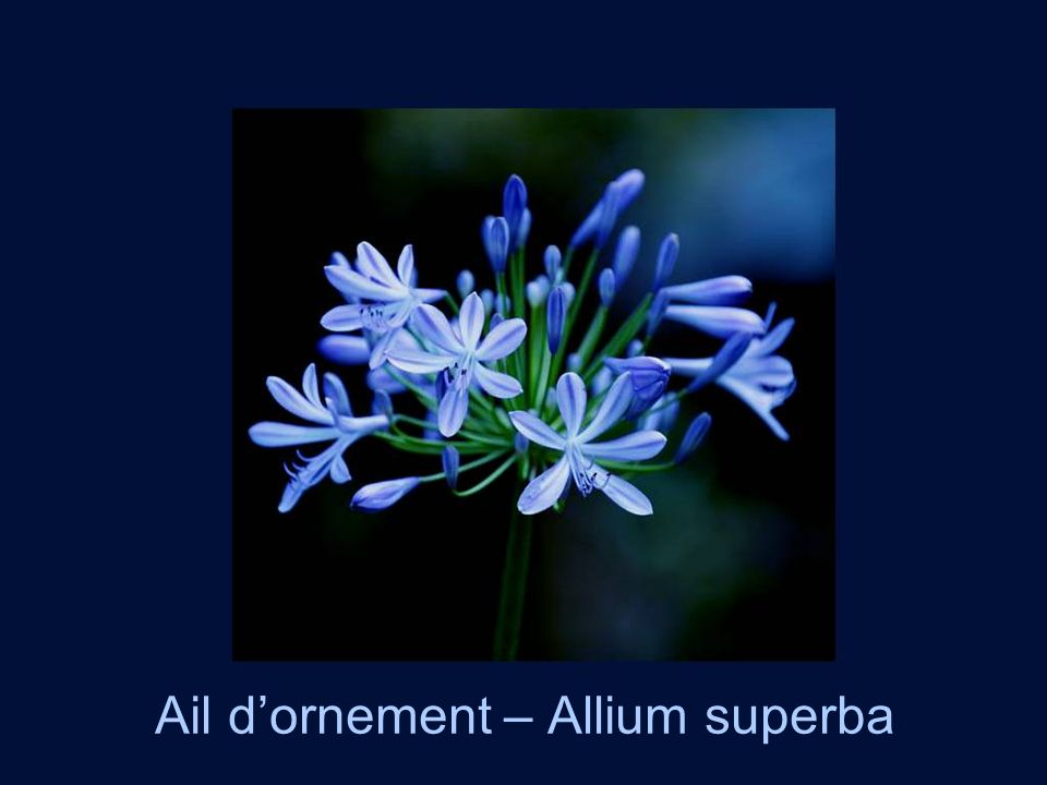 Ail dornement – Allium superba
