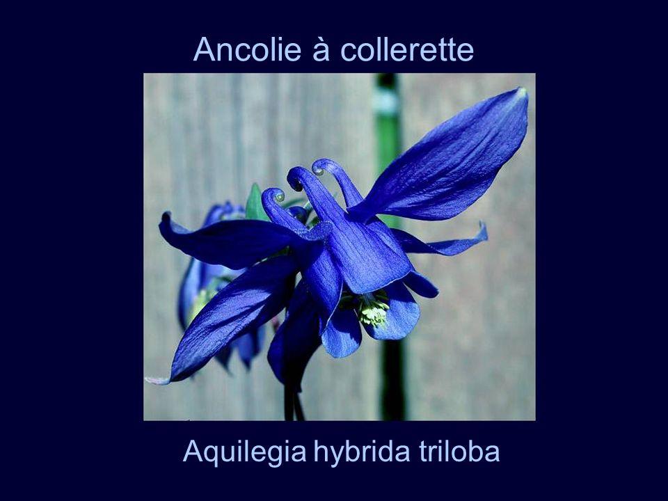 Ancolie à collerette Aquilegia hybrida triloba