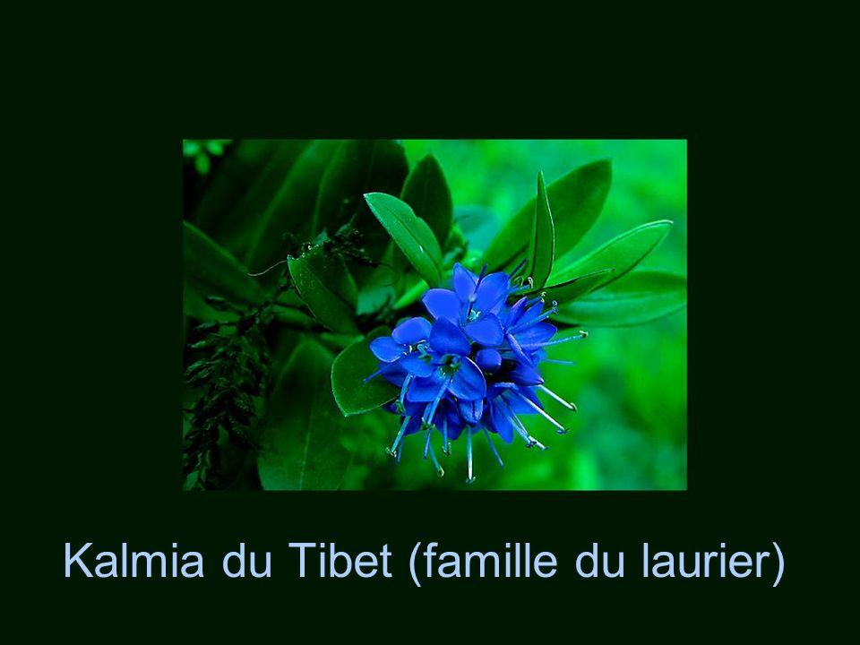 Kalmia du Tibet (famille du laurier)