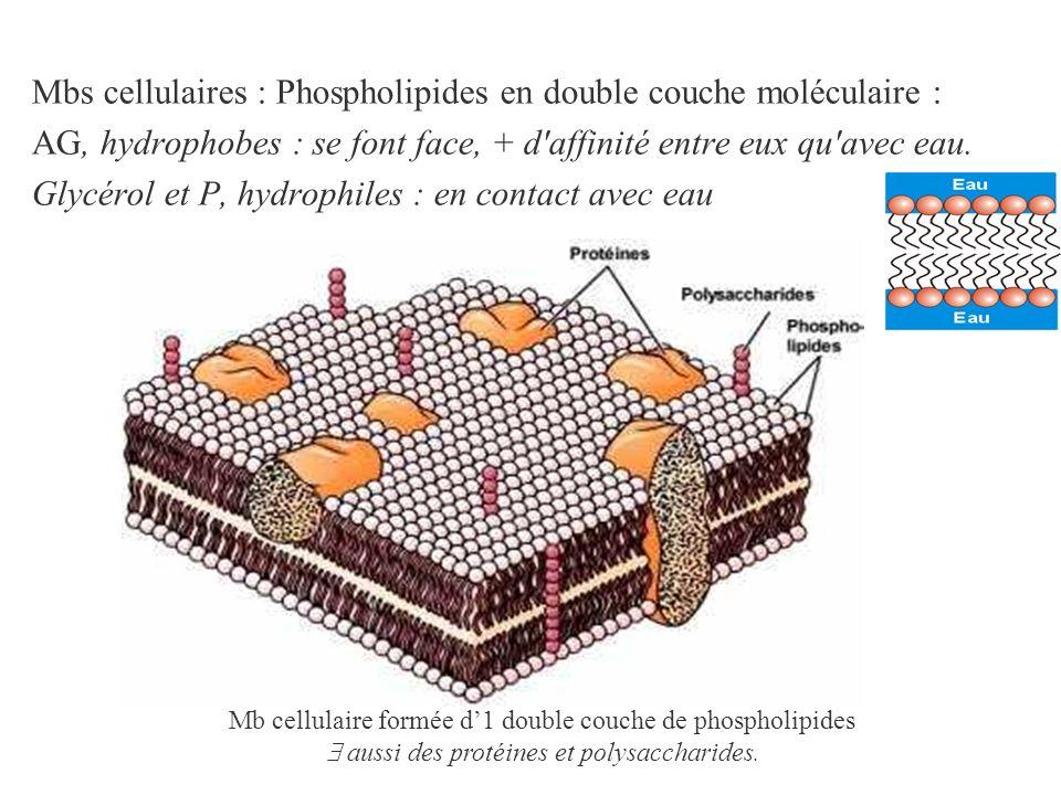 Mbs cellulaires : Phospholipides en double couche moléculaire : AG, hydrophobes : se font face, + d'affinité entre eux qu'avec eau. Glycérol et P, hyd