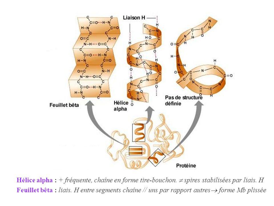 Hélice alpha : + fréquente, chaîne en forme tire-bouchon. spires stabilisées par liais. H Feuillet bêta : liais. H entre segments chaîne // uns par ra