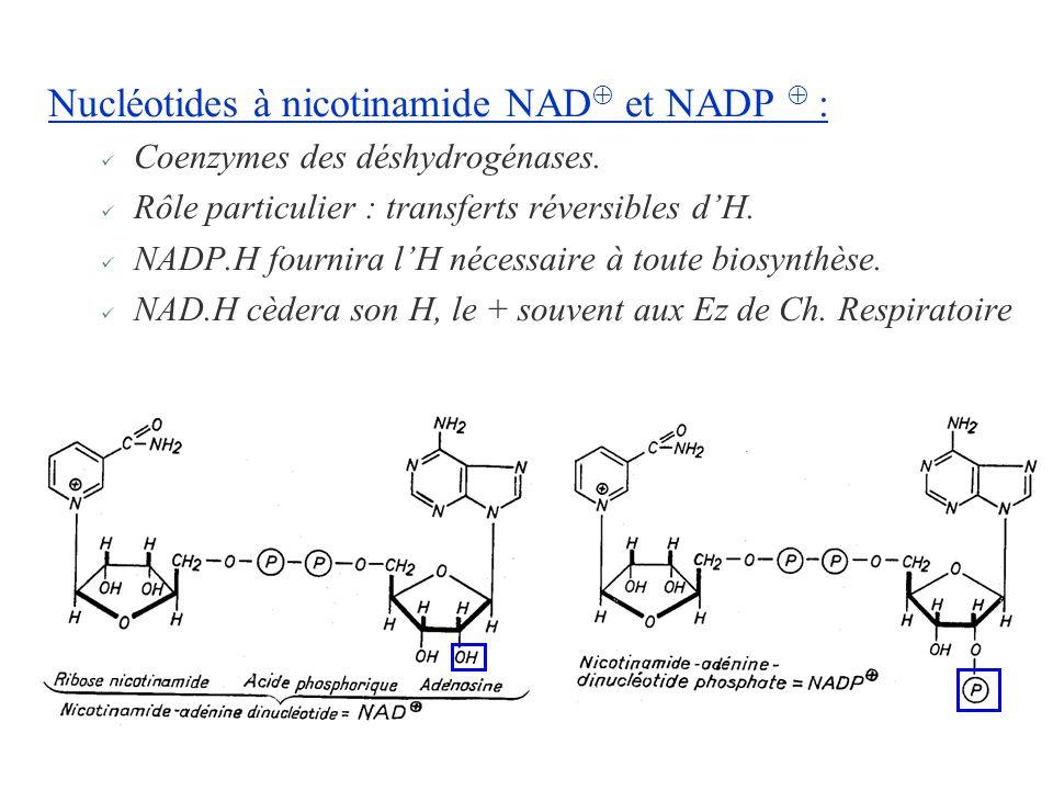 Nucléotides à nicotinamide NAD et NADP : Coenzymes des déshydrogénases. Rôle particulier : transferts réversibles dH. NADP.H fournira lH nécessaire à