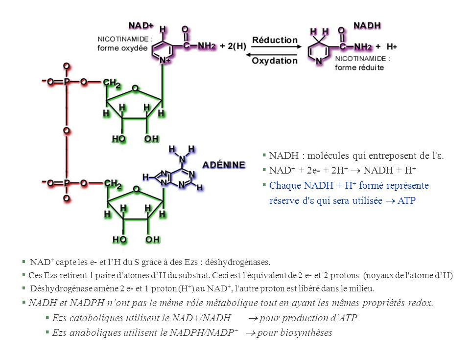 § NAD + capte les e- et lH du S grâce à des Ezs : déshydrogénases. § Ces Ezs retirent 1 paire d'atomes dH du substrat. Ceci est l'équivalent de 2 e- e