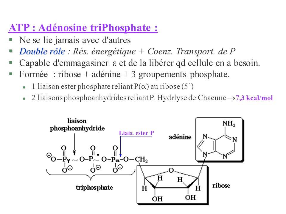 Liais. ester P ATP : Adénosine triPhosphate : §Ne se lie jamais avec d'autres §Double rôle §Double rôle : Rés. énergétique + Coenz. Transport. de P §C