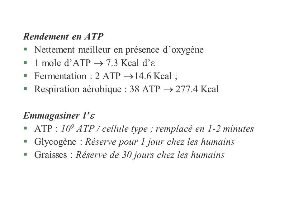 Rendement en ATP §Nettement meilleur en présence doxygène §1 mole dATP 7.3 Kcal d §Fermentation : 2 ATP 14.6 Kcal ; §Respiration aérobique : 38 ATP 27
