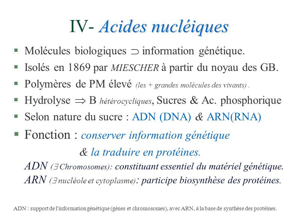 Acides nucléiques IV- Acides nucléiques §Molécules biologiques information génétique. §Isolés en 1869 par MIESCHER à partir du noyau des GB. §Polymère