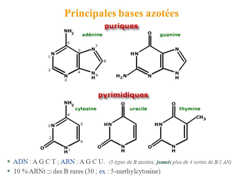 Principales bases azotées § ADN : A G C T ; ARN : A G C U. (5 types de B azotées, jamais plus de 4 sortes de B/1 AN) § 10 % ARNt des B rares (30 ; ex