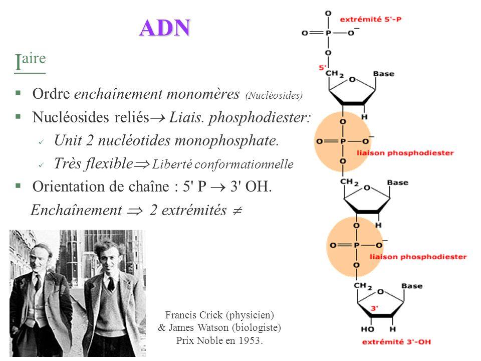 ADN I aire §Ordre enchaînement monomères (Nucléosides) §Nucléosides reliés Liais. phosphodiester: Unit 2 nucléotides monophosphate. Très flexible Libe