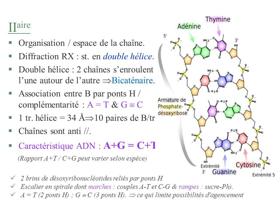 II aire §Organisation / espace de la chaîne. §Diffraction RX : st. en double hélice. §Double hélice : 2 chaînes senroulent lune autour de lautre Bicat