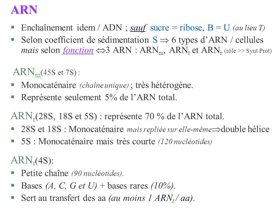 ARN §Enchaînement idem / ADN ; sauf sucre = ribose, B = U (au lieu T) §Selon coefficient de sédimentation S 6 types dARN / cellules mais selon fonctio