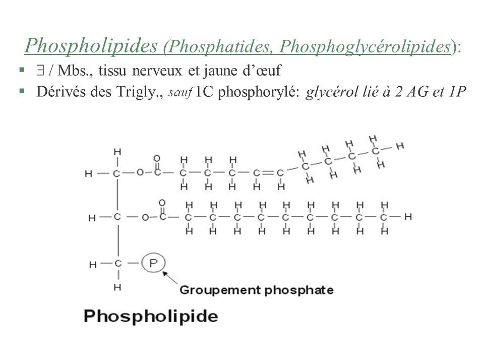Phospholipides (Phosphatides, Phosphoglycérolipides): § / Mbs., tissu nerveux et jaune dœuf §Dérivés des Trigly., sauf 1C phosphorylé: glycérol lié à