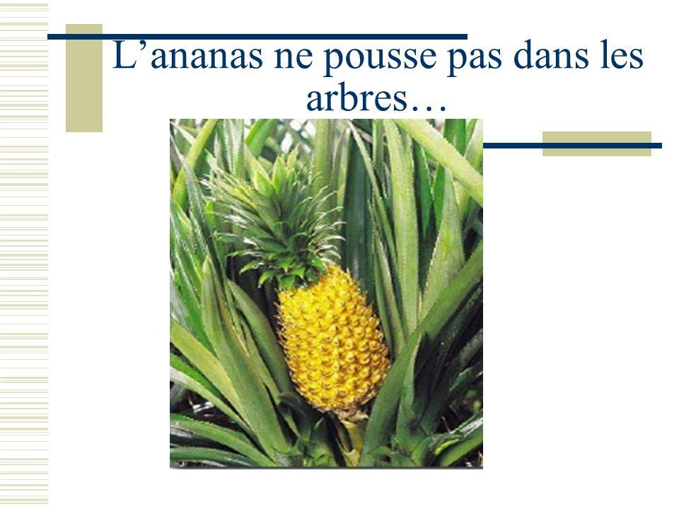 Lananas ne pousse pas dans les arbres…