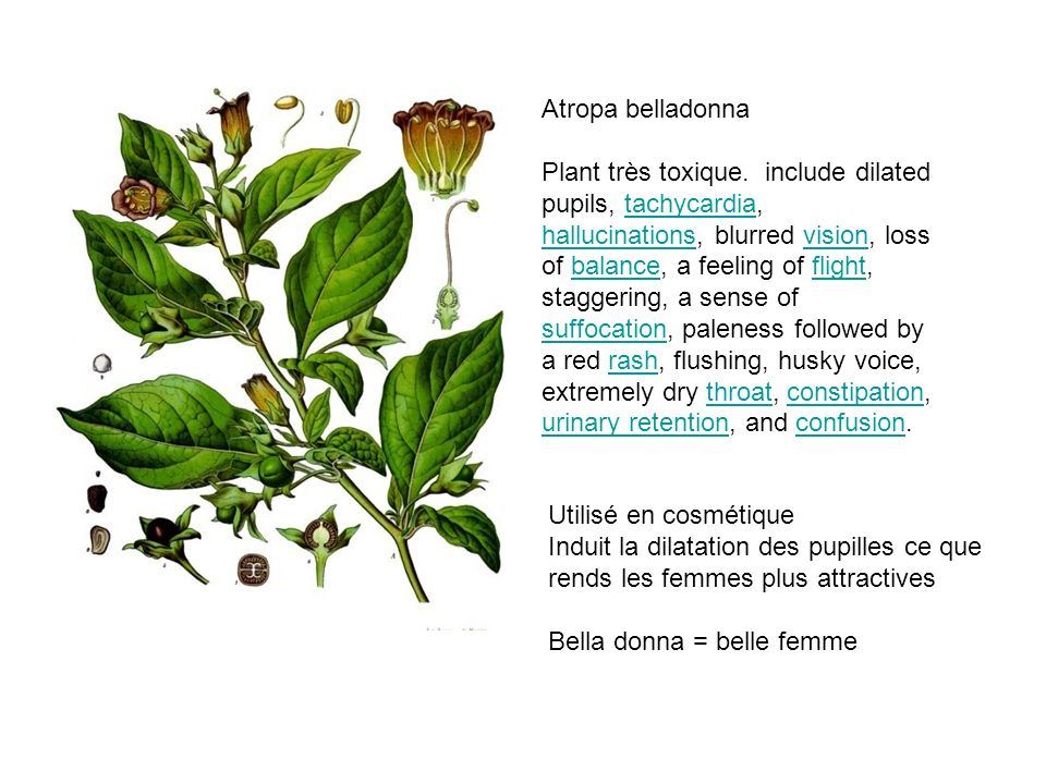 Atropa belladonna Plant très toxique. include dilated pupils, tachycardia, hallucinations, blurred vision, loss of balance, a feeling of flight, stagg