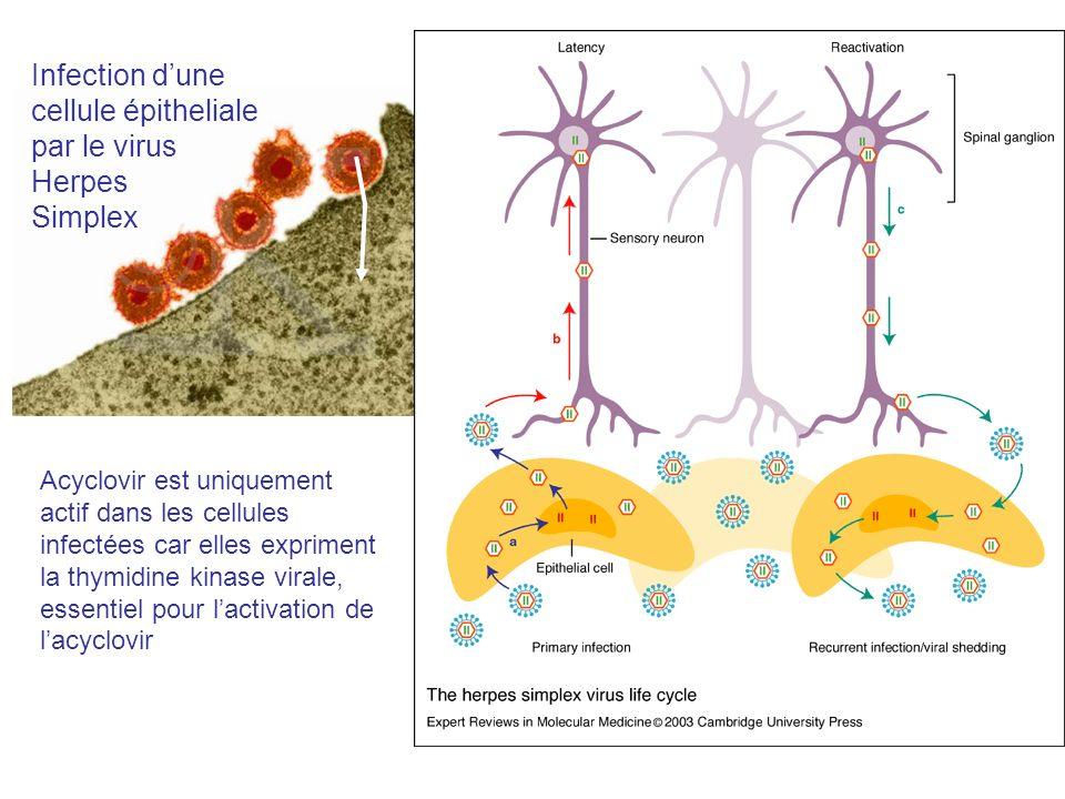 EXPLOITABLE DIFFERENCE Infection dune cellule épitheliale par le virus Herpes Simplex Acyclovir est uniquement actif dans les cellules infectées car e