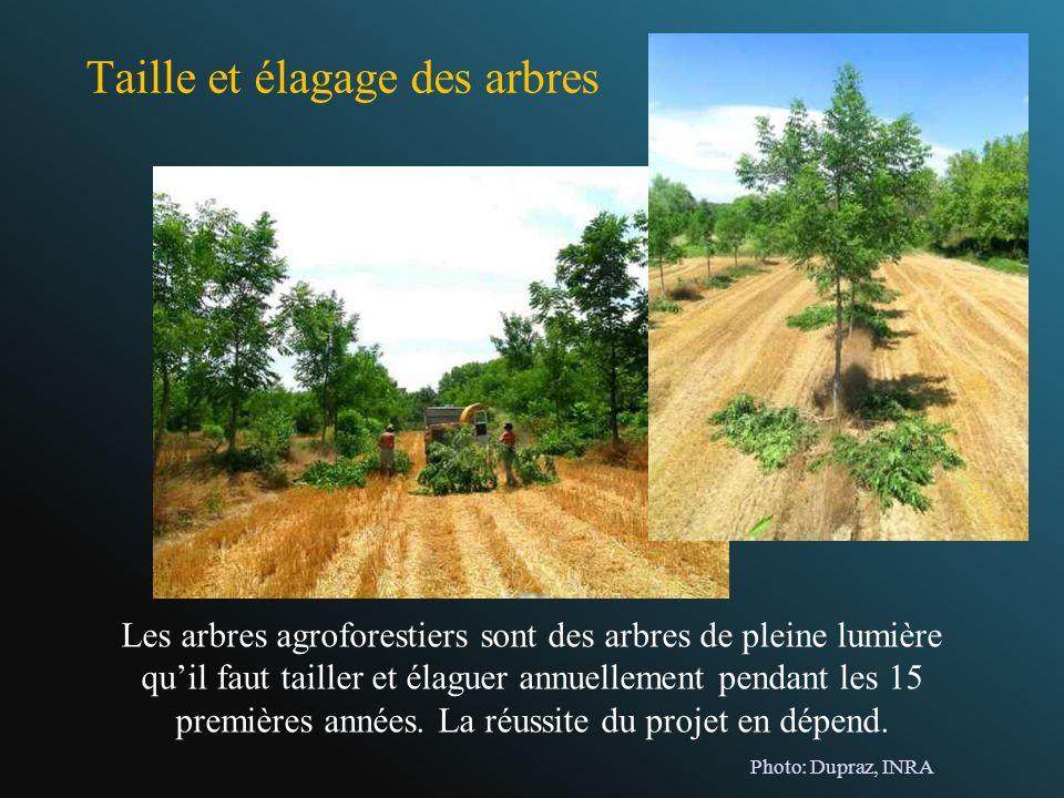 Taille et élagage des arbres Les arbres agroforestiers sont des arbres de pleine lumière quil faut tailler et élaguer annuellement pendant les 15 prem