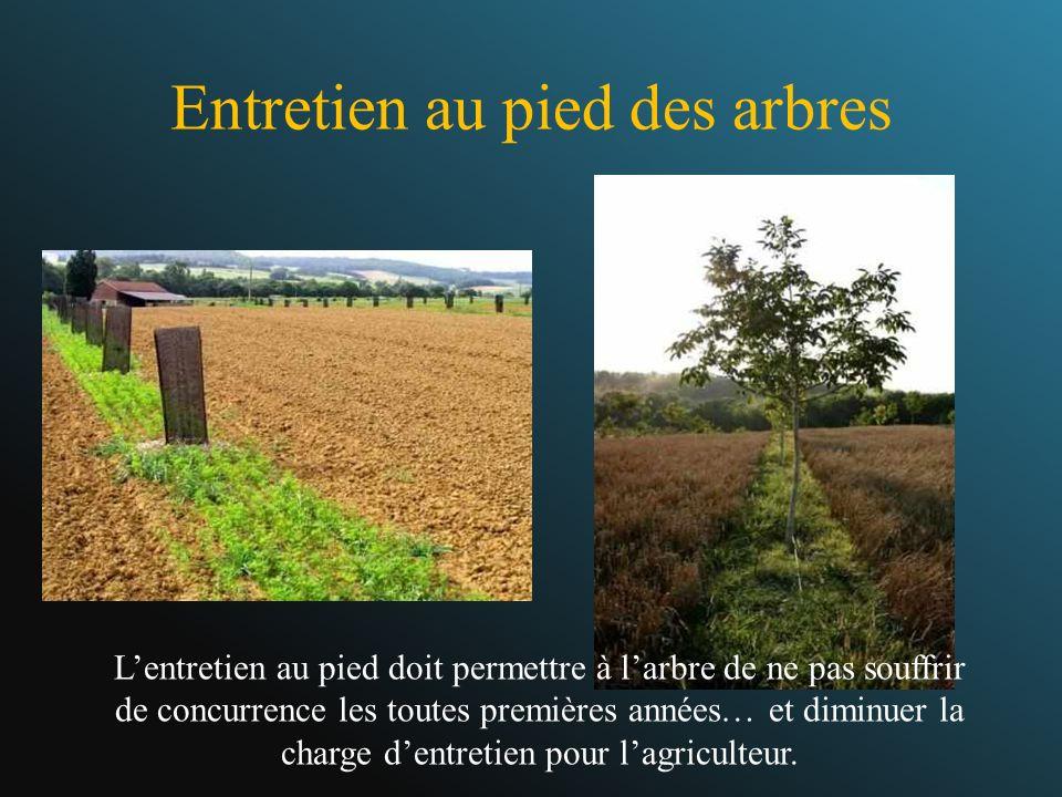 Entretien au pied des arbres Lentretien au pied doit permettre à larbre de ne pas souffrir de concurrence les toutes premières années… et diminuer la