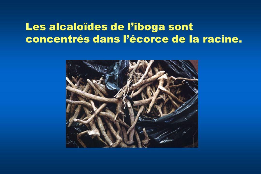 Les alcaloïdes de liboga sont concentrés dans lécorce de la racine.