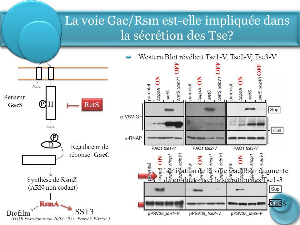 RetS Synthèse de RsmZ (ARN non codant) La voie Gac/Rsm est-elle impliquée dans la sécrétion des Tse? Western Blot révélant Tse1-V, Tse2-V, Tse3-V P H